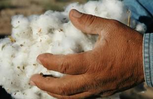 収穫したばかりの綿