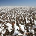 綿花が一面に広がる綿畑